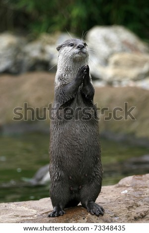 An otter at the zoo seems to be clapping or praying
