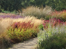 An outdoor landscape of a stunning colourful  purple green and shades of brown and yellow grasses shrubs and flowers planted in a garden border beside a gravel pathway in late Summer early Fall
