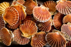 An over head view of twenty scallop shells with scallops inside stacked together in a metal tray