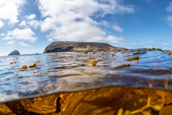 An over under image of the waters surrounding California's Santa Barbara Channel Island show the thick kelp and the beautiful island lining the horizon.