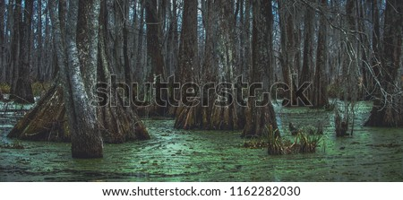 An overcast day in the swamp with cypress tree trunks and duckweed on Lake Martin outside of Breaux Bridge in the St. Martin Parish of Louisiana.