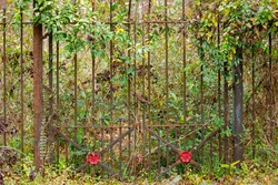 An overgrown iron gate with red spraypainted flower shapes attached