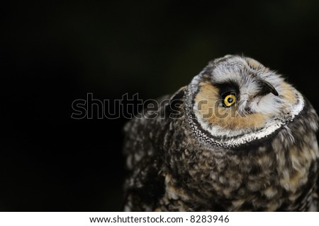 An owl looks up after a tasty meal of mice (small blood drops can be seen around the beak) on a very dark background - plenty of copyspace. - stock photo