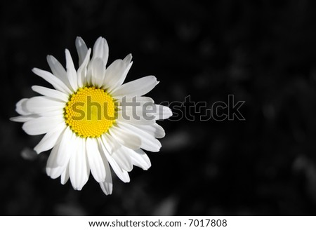 An oxeye daisy, leucanthemum vulgare, against a black and white background
