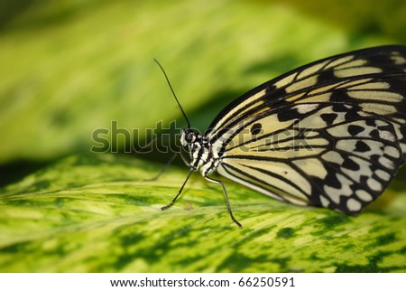 An species of butterfly from Brazil resting on a green and yellow leaf.