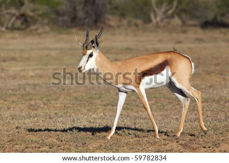 An springbok ram (Antidorcas marsupialis) in the Mountain Zebra National Park, South Africa.