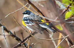An ultra close up view of a yellow rumped warbler perched in a tree in Tawas Point State Park, East Tawas, Michigan.