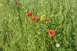 an uncultivated meadow with flowering red poppies and other wildflowers