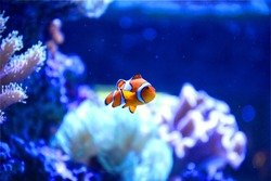 An unhappy clown fish swims in the aquarium tank with coral and reef alone.