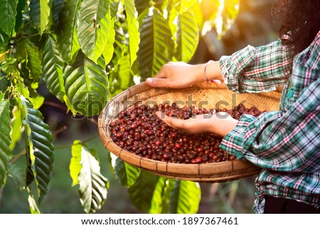 An unidentified coffee farmer is harvesting coffee berries at a coffee plantation with fresh, organic coffee beans.