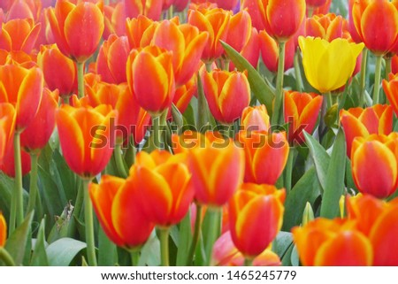An unique yellow tulip blooming with many colorful vibrant orange tulips surrounded in the flower field shows the uniqueness, difference and freshness concepts.