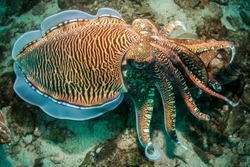 An unusual angle taken above a pair of Cuttlefish on the coral reef at Richelieu Rock located next to the Surin Islands in Thailand.