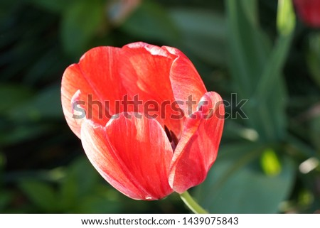 An up close bright tulip #1439075843