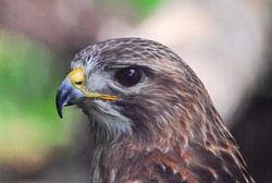 An up close head shot portrait of a beautiful red tail hawk.