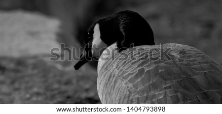 An up close picture of a goose