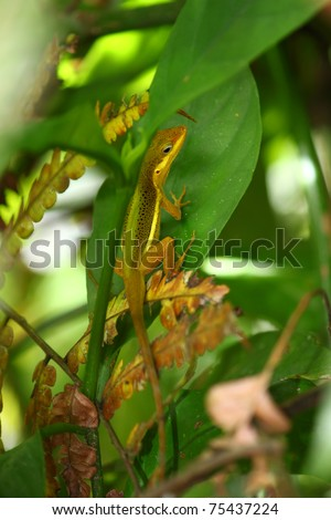 An Upland Grass Anole (Anolis krugi) hides amongst vegetation in  the El Yunque Rainforest of Puerto Rico.