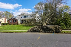 An uprooted fallen tree laying on the lawn in front of a house. The sidewalk is broken and the grass is lifted