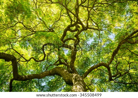 An upward view of a Japanese maple tree canopy in the Spring on the eastern shore of Maryland.