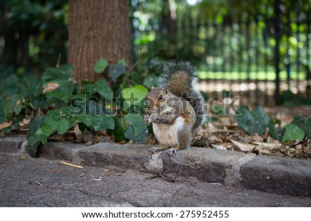 An Urban Grey Squirrel, Sciurus carolinensis, eating outside a park. Species North American in origin, this little guy live in the Cape Company Gardens, Cape Town, South #275952455