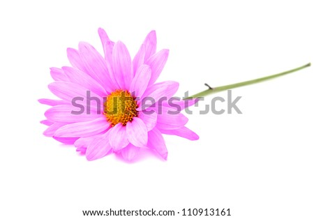 An welcoming pink daisy on white