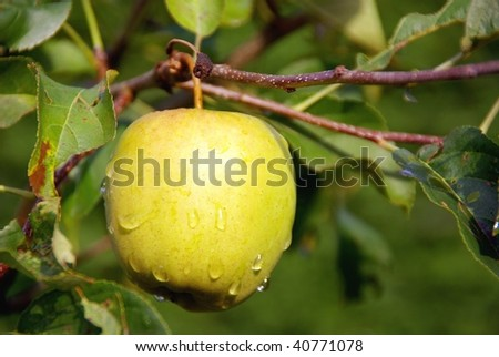 an yellow apple with rain drops in a tree - stock photo