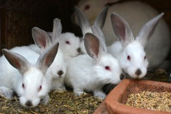 An young rabbits of the Californian breed
