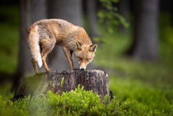 An young red fox quietly looking around from a large stump in spring green forest. Surrounded by blackberry fresh green leaves, pure natural scene. Amazing mammal, very common for Europe.