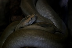 Anacondas or water boas are a group of large snakes of the genus Eunectes.