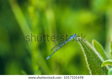 Anamorphic blue dragonfly Arrow Southern (Coenagrion mercuriale). Blue Damselfly Coenagrionidae insect on a green herb leaf. Natural background with selective focus. #1017101698