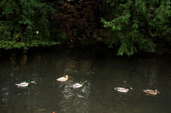 Anas platyrhynchos duck or Mallard ducks family float swimming in small canal water flowing of Leopoldpark garden public park in fall autumn seasonal at Munich city in Bavaria, Germany