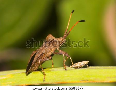 Anasa tristis (Squash Bug) #5583877