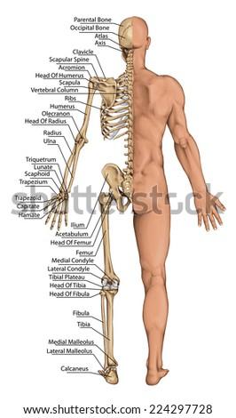 Royalty-free Anatomical body, human skeleton,… #225637795 Stock ...