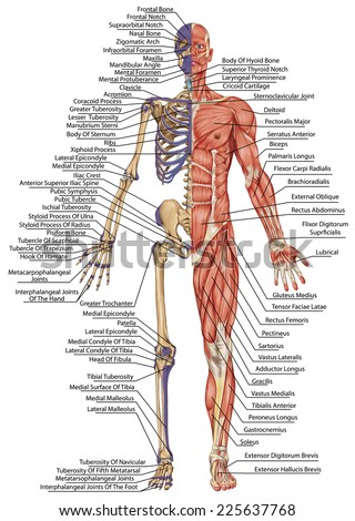 Royalty-free Anatomical body, human skeleton,… #225637798 Stock ...
