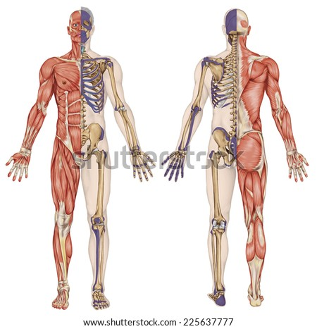 anatomical body, human skeleton, anatomy of human bony system, body surface contour and palpable bony prominences of the trunk and upper and lower limbs, anterior posterior view, full body stock photo