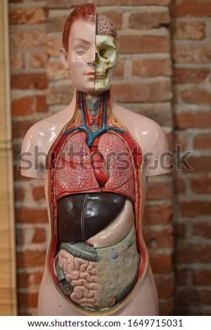 Anatomical model of a man - image
