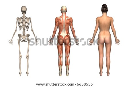 Anatomical overlays, female, back view. These images will line up exactly, and can be used to study anatomy. 3D render.