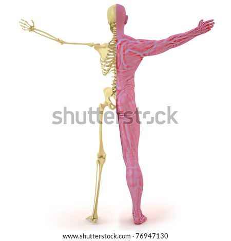 anatomical structure of the body man. bones and muscular flesh. isolated on white.