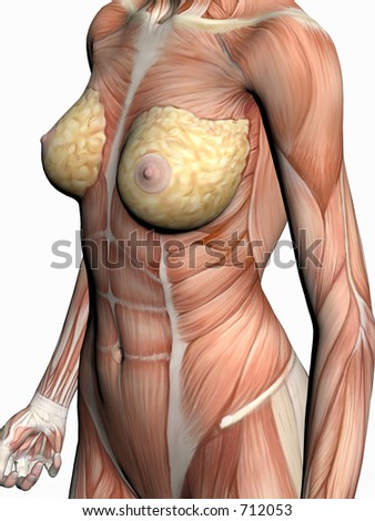 Anatomically correct medical model of the human body, a woman with muscles showing.  3D illustration, render over white. View on torso from right.