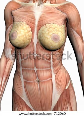 Corrija anatômica o modelo médico do corpo humano, uma mulher commostrar dos músculos. a ilustração 3D, rende o excesso branco.Vista no torso da parte dianteira.