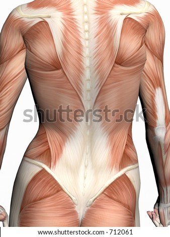 Anatomically correct medical model of the human body, a woman with muscles showing.  3D illustration, render over white. View on torso from back.