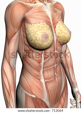 Anatomically correct medical model of the human body, a woman with muscles showing.  3D illustration, render over white. View on torso from left.