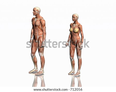 Anatomically correct medical model of the human body, man and woman with muscles showing.  3D illustration, render over white. View from right.