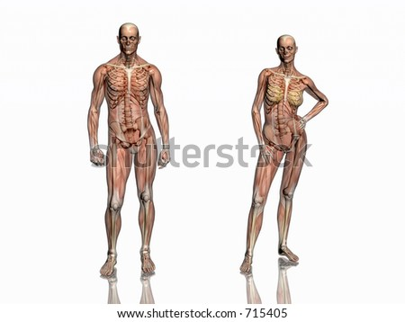Anatomically correct medical model of the human body, man and women, muscles and ligaments showing transparent and skeleton projected into the body. 3D illustration over white. Front  view. - stock photo