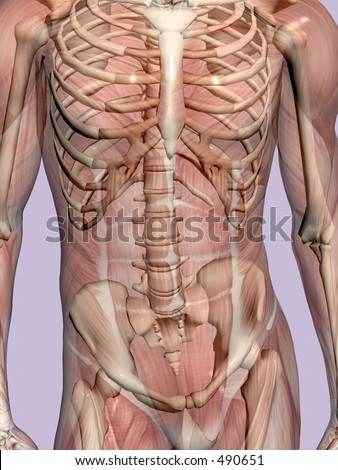 Anatomically correct medical model of the human body, muscles and ligaments showing transparent and skeleton projected into the body. Detail on torso.