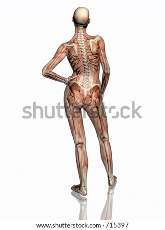 Anatomically correct medical model of the human body, women, muscles and ligaments showing transparent and skeleton projected into the body. 3D illustration over white. Back view.