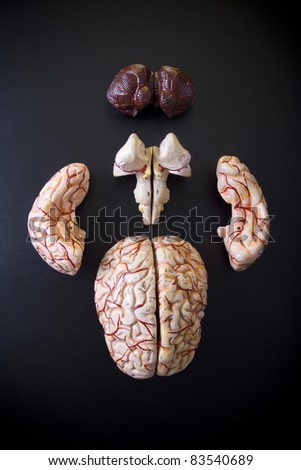 anatomically  model of the human brain on black background