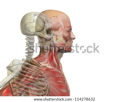 Anatomy concept or conceptual human or man body chest,head isolated on background as a metaphor for medical,science,health,male,biology,medicine,bone,anatomical,muscular,system,face,cranium and spine