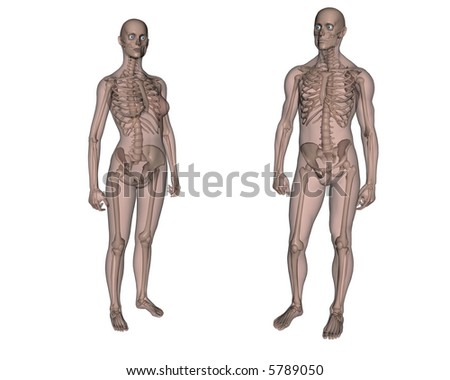 Anatomy. Female and Male skeleton