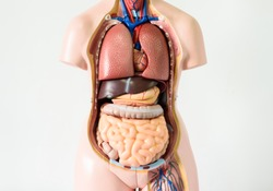 Anatomy human body model on white background.Part of human body model with organ system.Medical education concept.