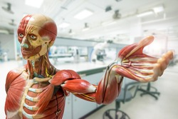 Anatomy model on laboratory background